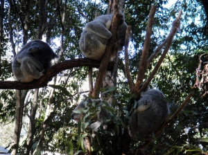 tree full of koalas