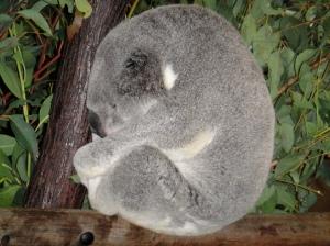koala sleeping!