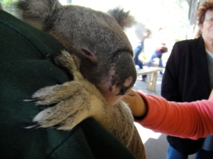 koala-up close :O)