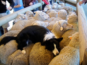 sheep dog show!- the dog that helps herd the sheep