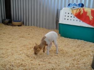 baby lamb :)