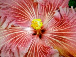 australian hibiscus