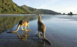 wild kangaroos on the beach