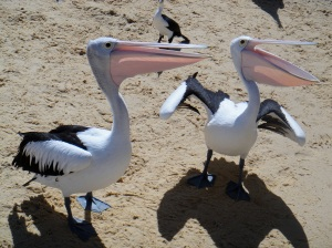pelican feeding. they're adorable! & their beaks are translucent!