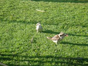 feeding kookaburras snake!